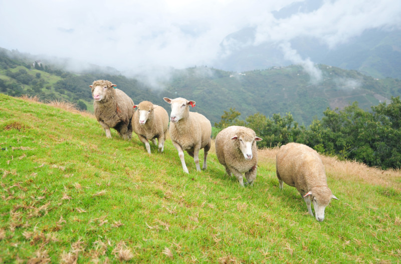 into the sheepfold